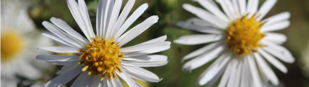 enquête de plantes- aster